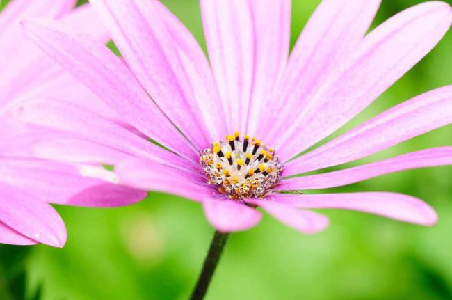 Рожева ромашка