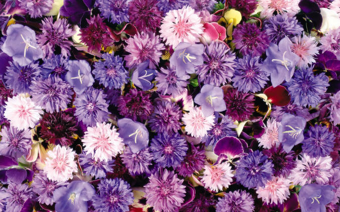 фіолетові польові квіти