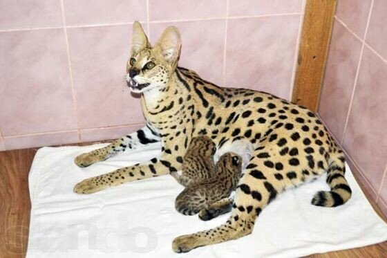 Самая редкая порода кошек в мире