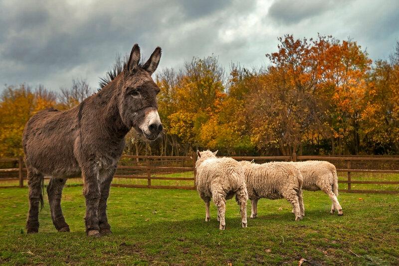 donkey and cheeps. Local farm.