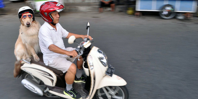 Cool rider Ace on the back on the motorbike, on January 12, 2015, in Surabaya, Indonesia. (Photo by