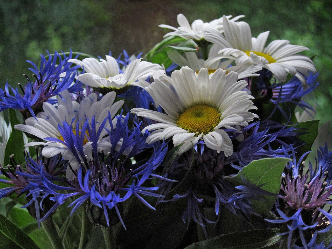 Leucanthemum_&_Centaurea_3348_js_2012.jpg