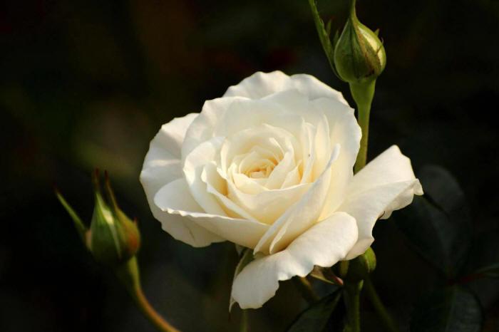 маленька біла трояндочка