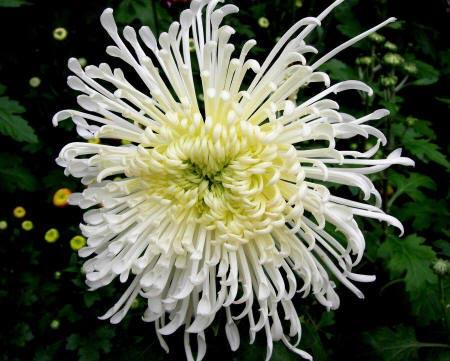 Хризантема стерлінг