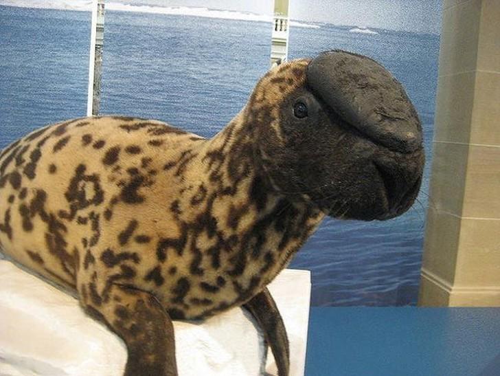 Хохлачи встречаются только в отдельных отдаленных районах Северной Атлантики. Эти представители