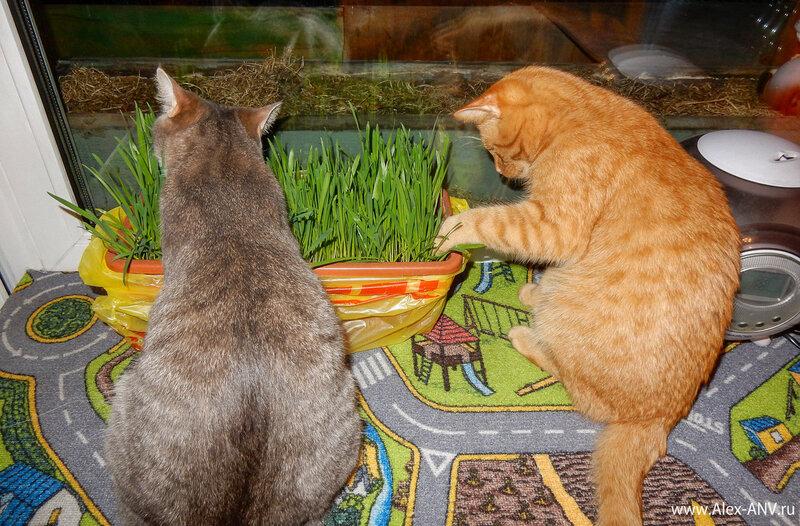 А когда коты и кошки наелись, стали они думать, что же ещё можно с этой травой интеерсного сделать...