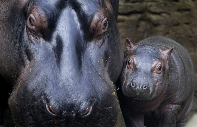 A baby hippo stands near its mother Maruska in their enclosure at Prague Zoo, Czech Republic, Februa