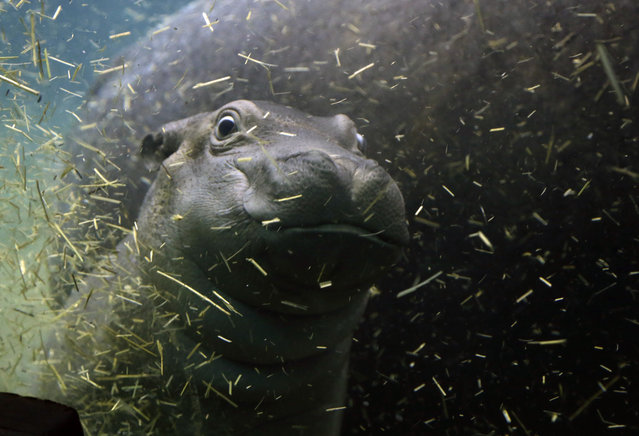 A newborn baby hippo swims with its mother Maruska in their enclosure at the zoo in Prague, Czech Re