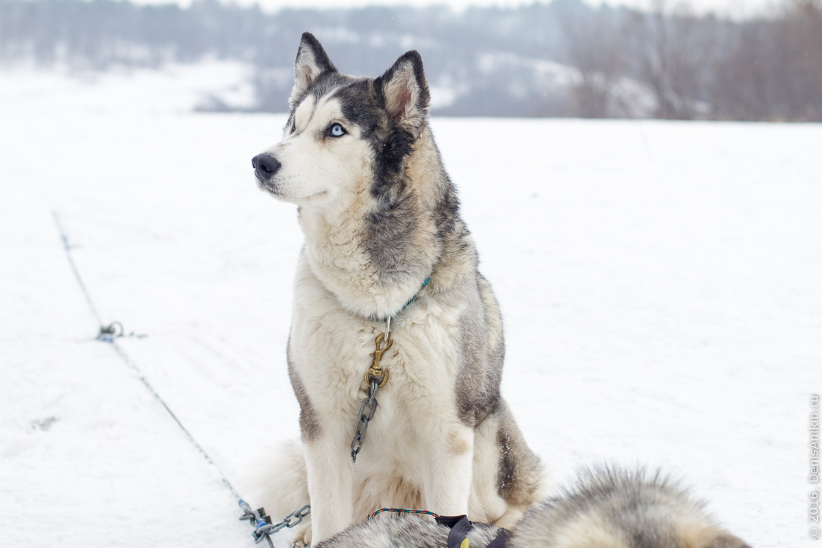 Питомник сибирских хаски DogWinter 25