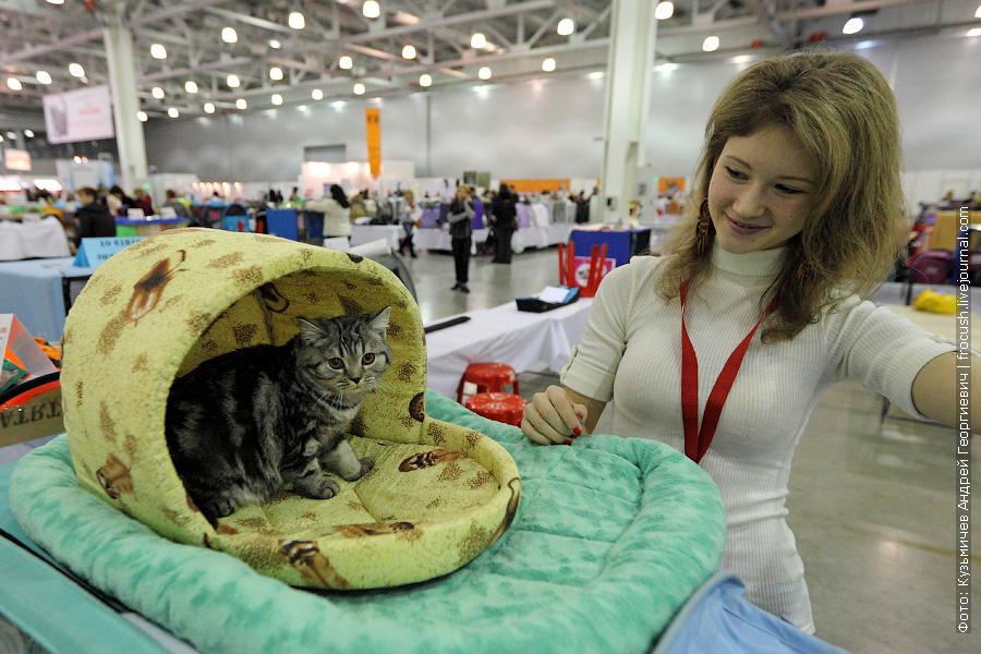 Кошка Lysiena. Скоттиш страйт (Шотландская короткошерстная)