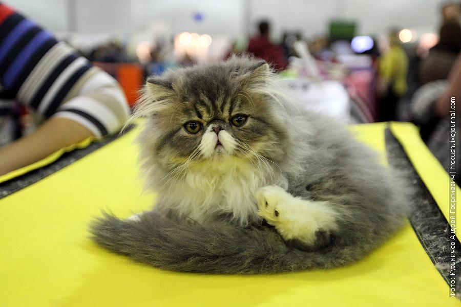 перс фотографии выставка кошек гран при Royal Canin