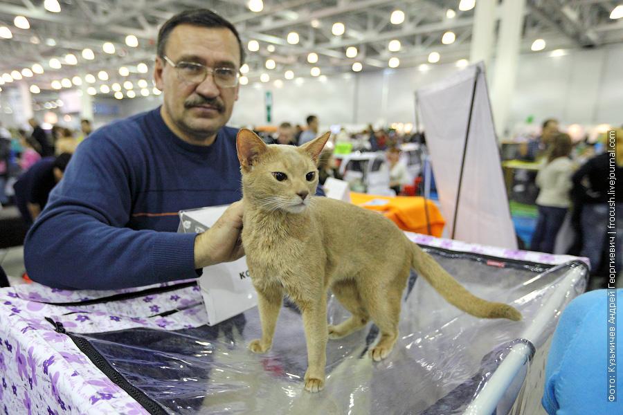 кошка Абиссинская