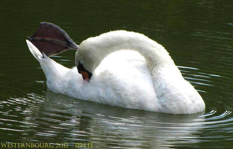 1194.13 Лебедь