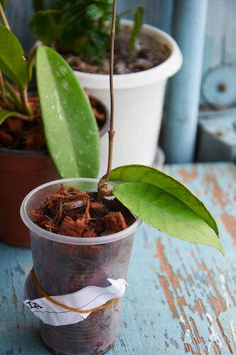 Растения полученные из Тюмени. Отзывы, хвасты!!! - Страница 2 0_6462b_bd223637_L