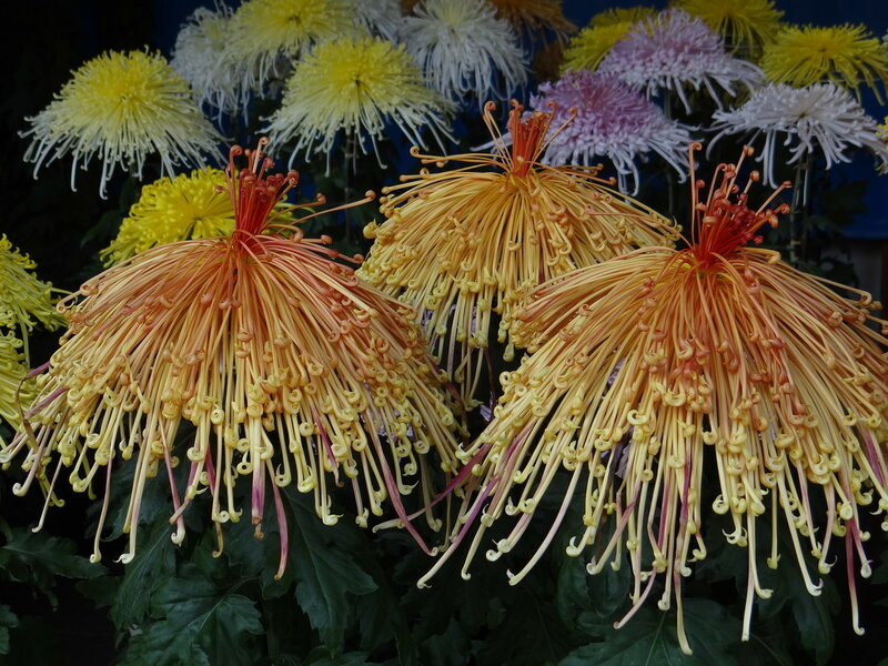 выставка хризантем в храме Юсима тэндзин