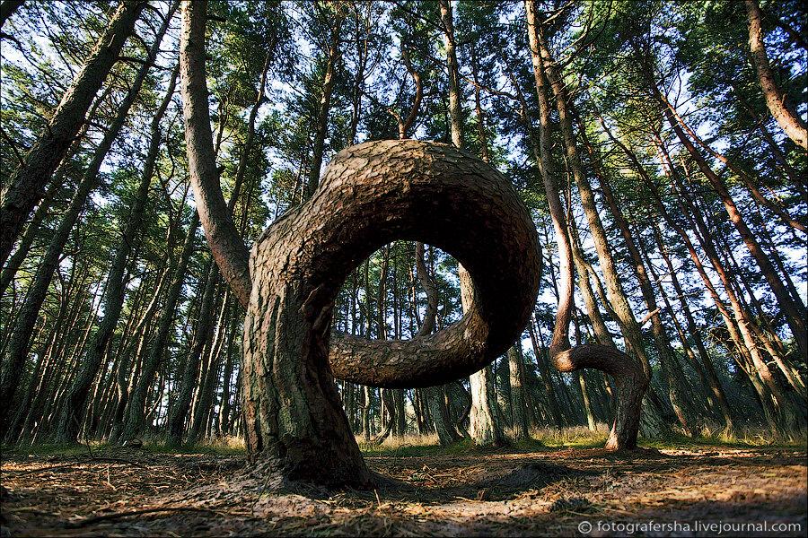 фото пьяный куршской косе лес на