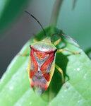 Клопы, полужесткокрылые, Heteroptera