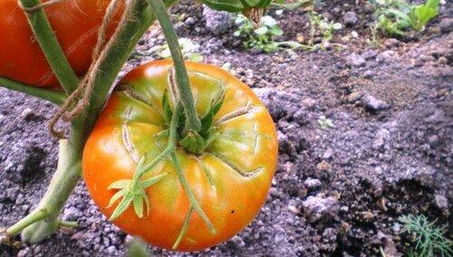 Эти помидоры лопнули