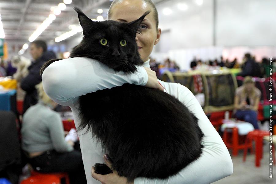 Мейн-кун Кот Черный солид выставка кошек