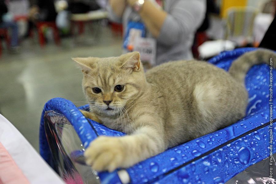 Скоттиш страйт (Шотландская короткошерстная) фотографии выставка кошек