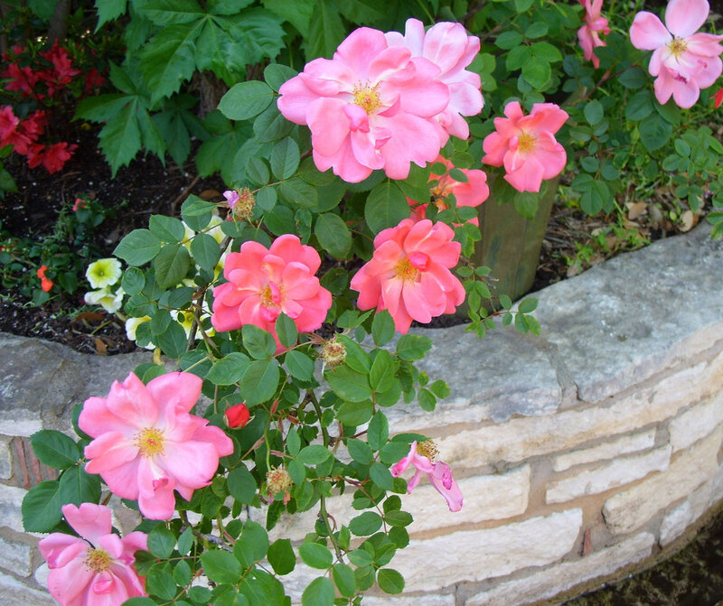 'Summer Breeze' climbing rose trails long sprays of blooms