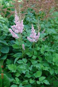 Выращивание из семян астильба 24