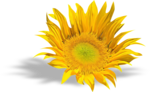 AD_Sunflower_summer_el (32).png