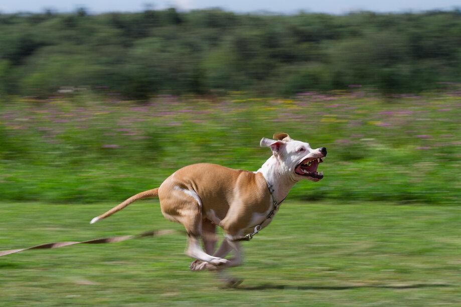 картинки собака бежит участники