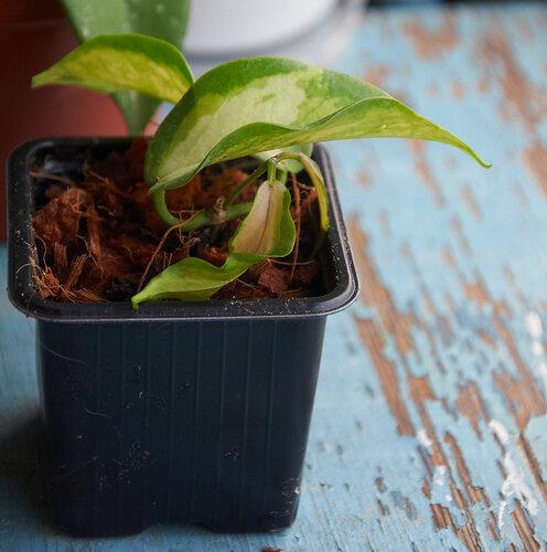 Растения полученные из Тюмени. Отзывы, хвасты!!! - Страница 2 0_6462a_a5aa7b6a_L