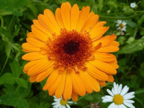 Оранжевая календула-красота...