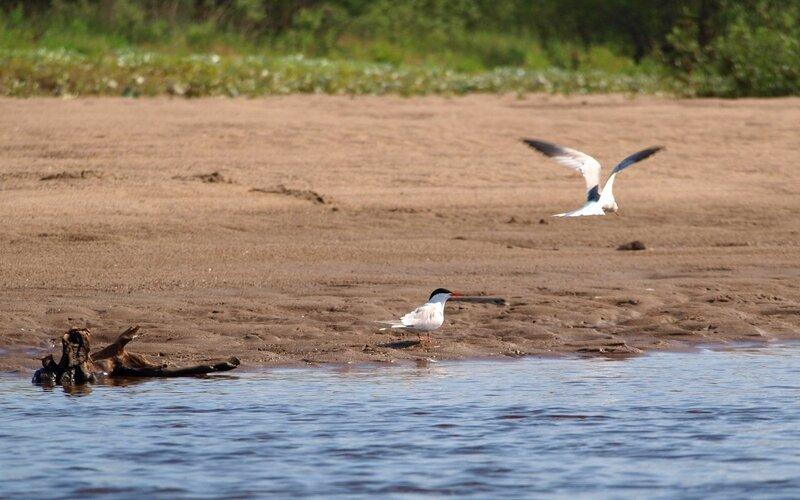 Речные крачки (Sterna hirundo) на берегу реки Моломы