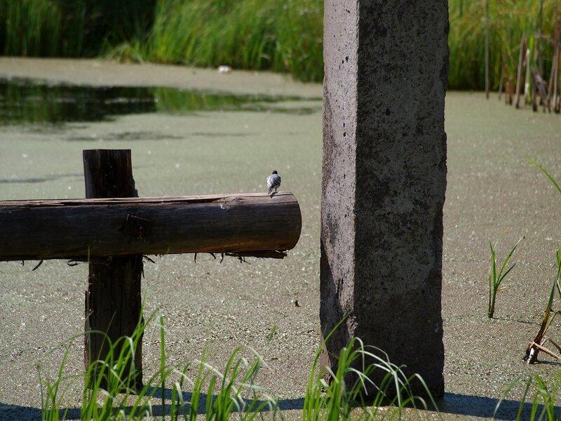 Трясогузка на брёвнах в Чистых прудах