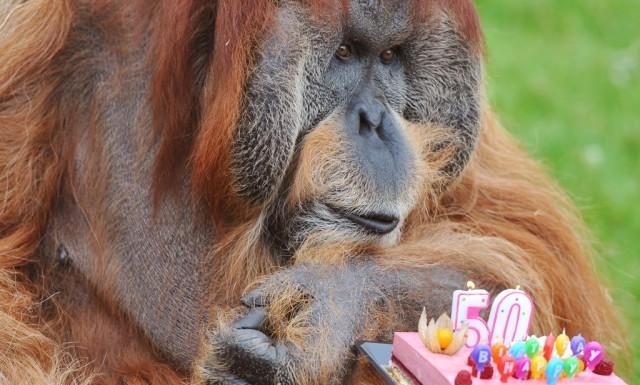 найстаріший орангутанг