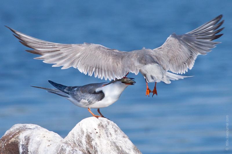 Птицы Челябинской области, обыкновенная крачка