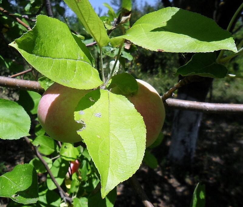 Плоды, сад...