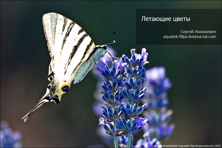 Бибочки на лавандовом поле