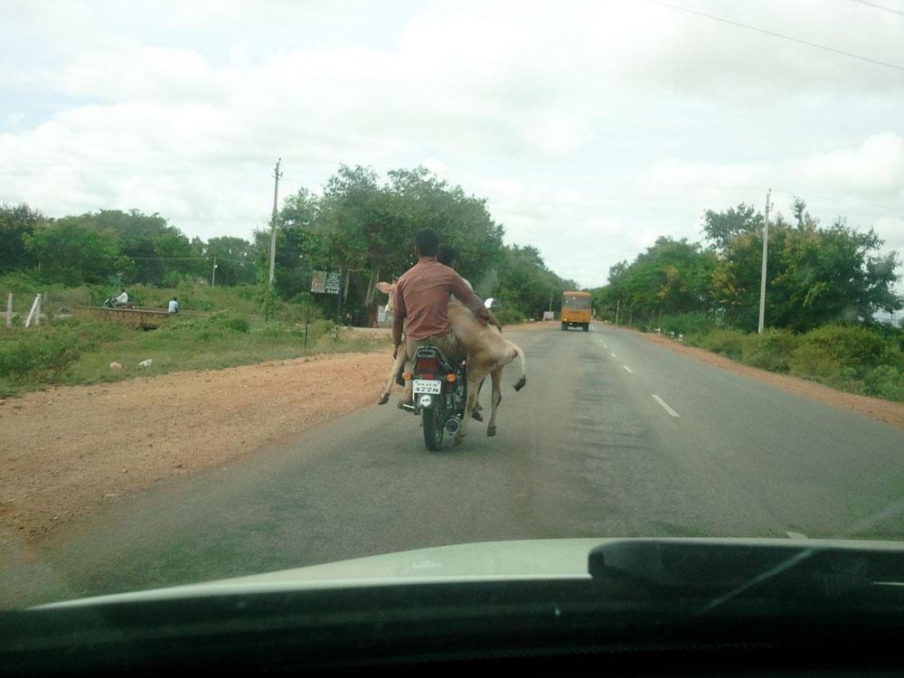 Мужик везет корову на мотоцикле прикольные фото