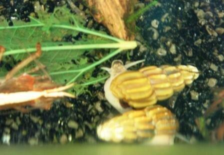 Амурский аквариум 0_f0c18_3ad6594d_L