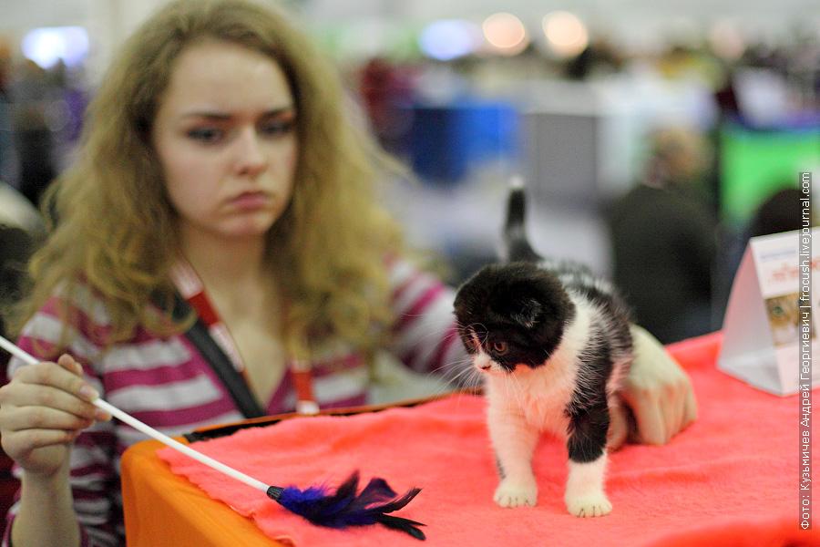 фотографии выставка кошек гран при Royal Canin Шотландская вислоухая