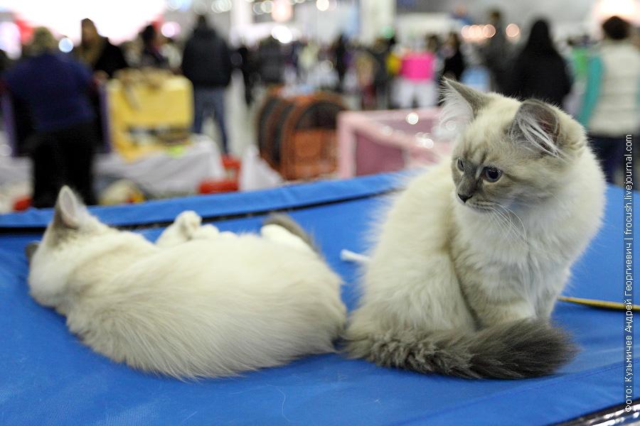 Котята Невская маскарадная выставка кошек