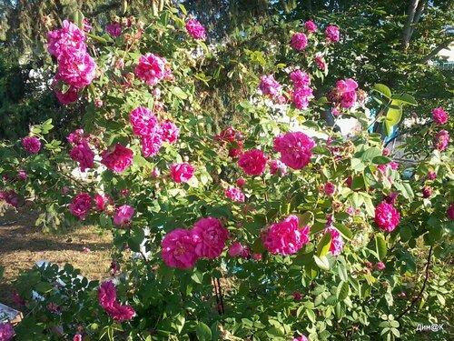 Samsung C3350 (Цветущие розы)