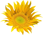 AD_Sunflower_summer_el (31).png