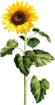 AD_Sunflower_summer_el (37).png