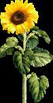 AD_Sunflower_summer_el (37).png