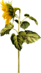 AD_Sunflower_summer_el (38).png