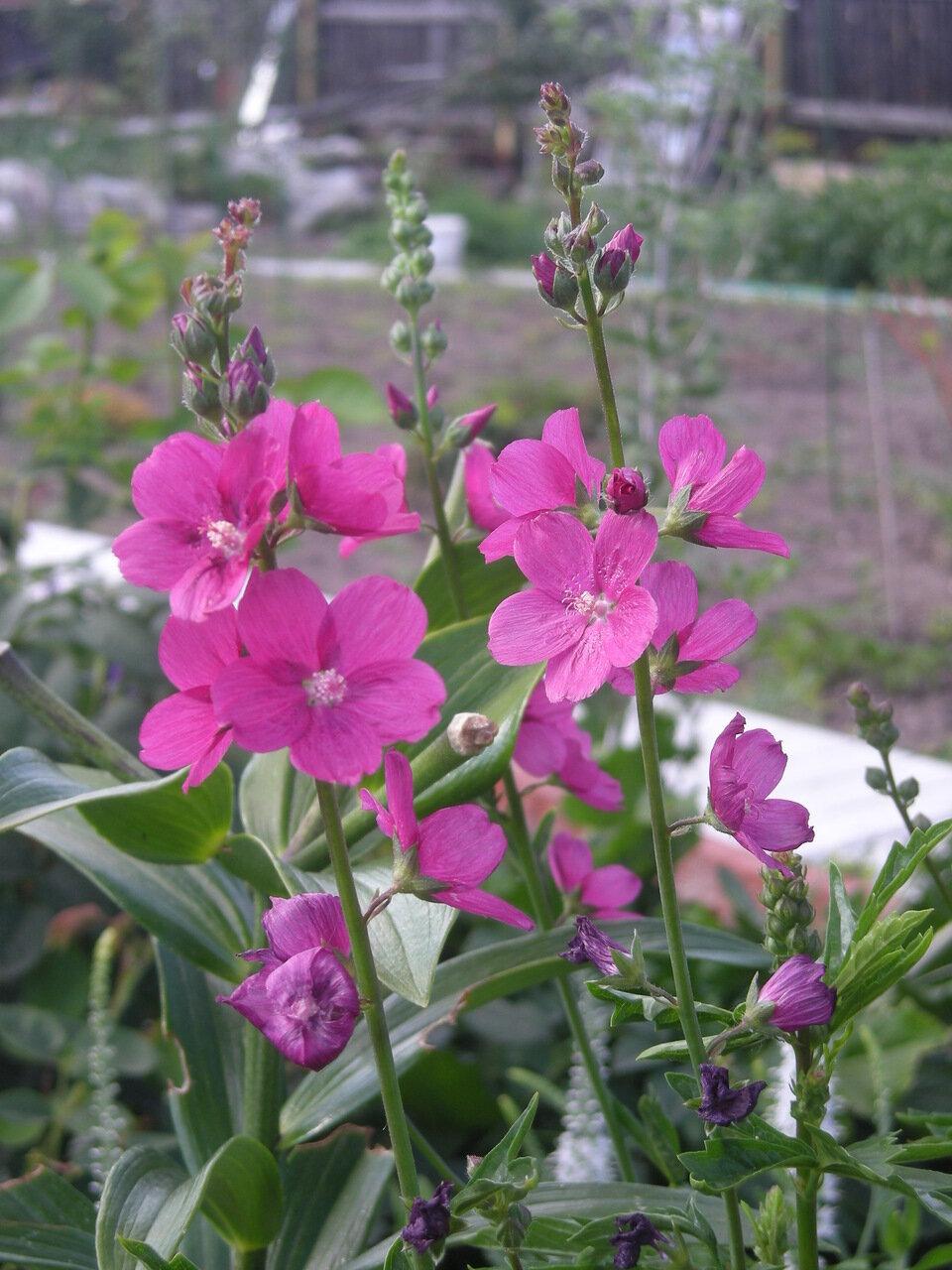 цветы сидальцея