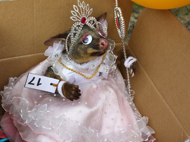В Новой Зеландии прошел конкурс красоты среди мертвых опоссумов