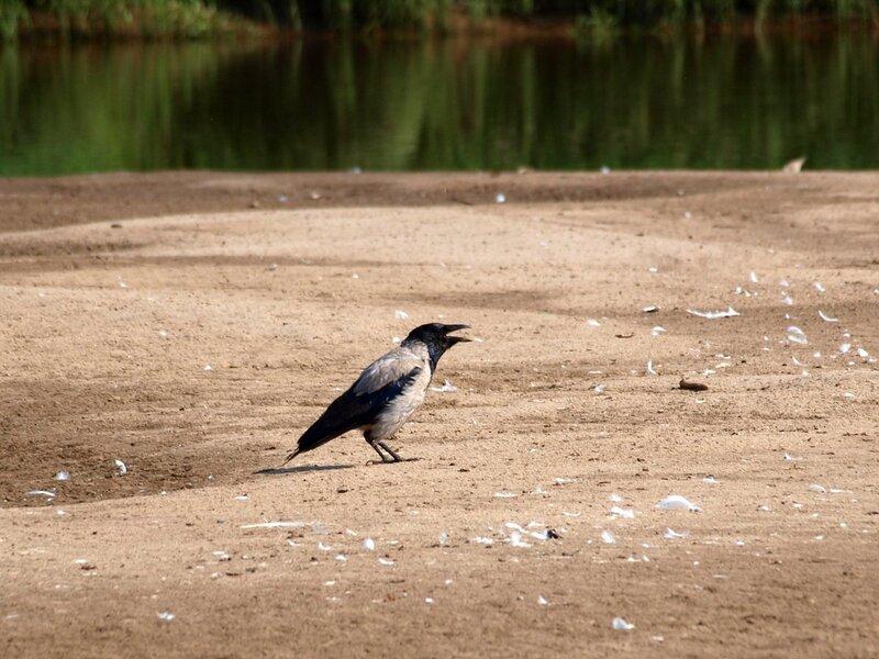 Ворона сидит с открытым клювом на песке
