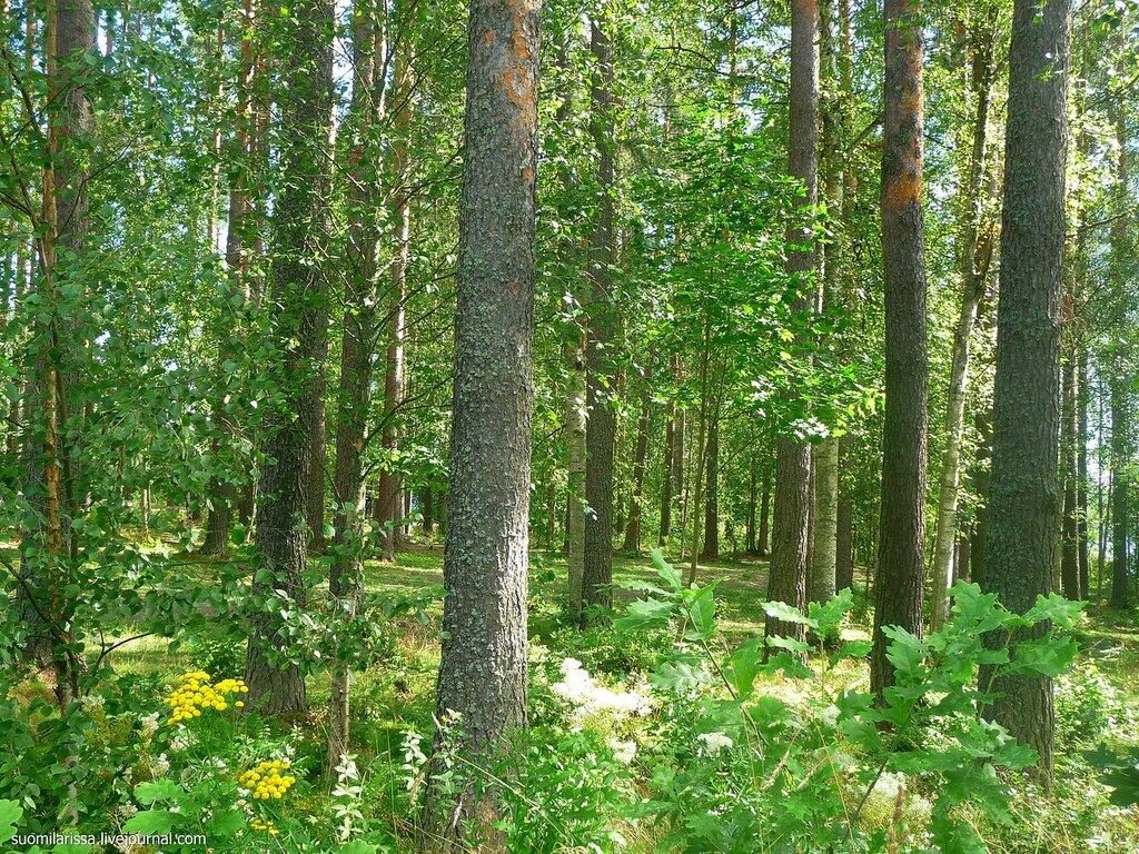 """Лес около музея """"Карельский дом""""."""