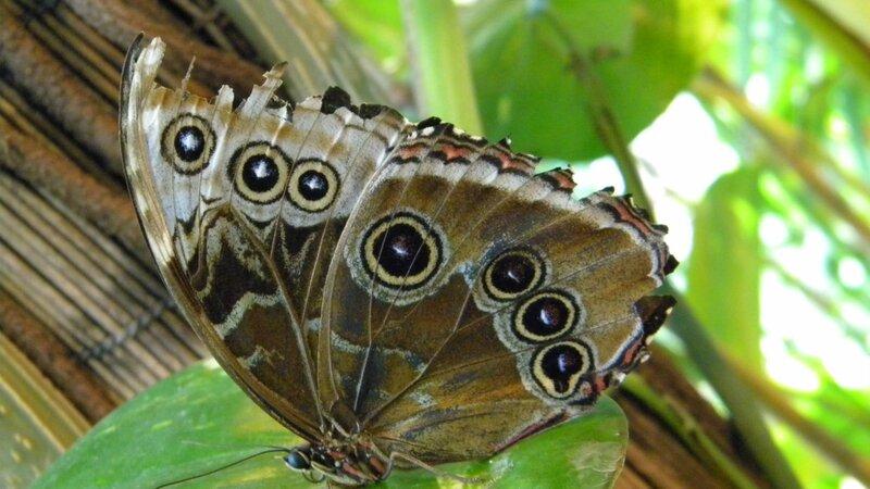 бабочка - с глазом